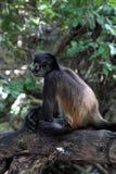 Affe im tropischen Wald Lizenzfreies Stockfoto