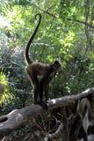 Affe im tropischen Wald Stockbilder