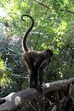 Affe im tropischen Wald Lizenzfreie Stockbilder