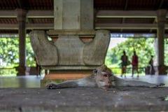 Affe im Ubud-Affe-Wald Stockfotografie