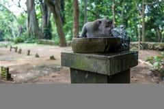 Affe im Ubud-Affe-Wald Lizenzfreie Stockbilder