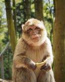 Affe im Wald Stockfotografie