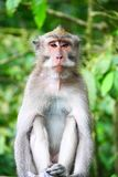 Affe im Affe-Wald Lizenzfreies Stockfoto