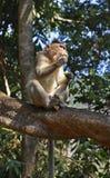 Affe im Wald Goa Indien Stockbilder