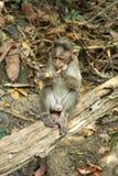 Affe im Wald Goa Indien Lizenzfreies Stockfoto