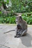 Affe im Wald sakralen Affen Ubud (Bali, Indonesien) Lizenzfreies Stockbild