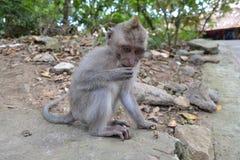 Affe im Wald sakralen Affen Ubud (Bali, Indonesien) Lizenzfreie Stockfotos