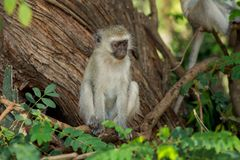 Affe im wilden Naturwald Afrikas Lizenzfreie Stockfotos