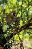 Affe im wilden Naturwald Afrikas Stockfoto