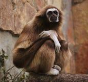 Affe im Zoo Stockfoto