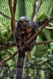 Affe im Zoo Stockfotografie