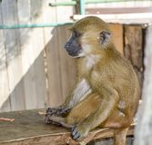 Affe im Zoo kleiner brauner Affe Lizenzfreies Stockbild