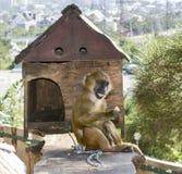 Affe im Zoo kleiner brauner Affe Stockfotografie