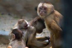 Affe im Zoo Rio de Janeiro Lizenzfreies Stockfoto