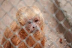 Affe im Zookäfig mit traurigem Ausdruck Stockbild