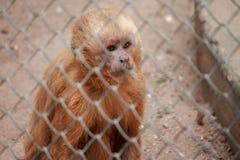 Affe im Zookäfig mit traurigem Ausdruck Lizenzfreie Stockfotos