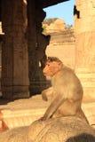 Affe in Indien. Lizenzfreies Stockfoto