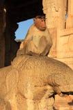 Affe in Indien. Stockbild