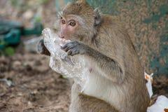 Affe isst Abfall Lizenzfreies Stockfoto