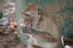 Affe isst Abfall Stockbild