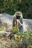 Affe isst Banane im wilden Naturwald Afrikas Stockfotos