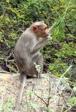 Affe isst Blätter Stockfoto