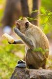 Affe isst den Mais, der auf Stein sitzt Stockbild
