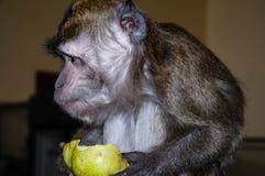 Affe isst eine BIRNE Stockfotografie