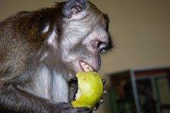 Affe isst eine BIRNE Stockbilder