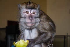 Affe isst eine BIRNE Lizenzfreies Stockbild