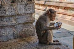 Affe isst eine Kokosnuss im indischen Tempel Stockbilder