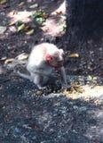 Affe isst eine Mahlzeit Stockbilder