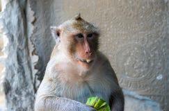 Affe isst eine tropische Frucht Essen des Affenahaufnahmefotos Netter flaumiger Schimpanse mit exotischer Frucht Lizenzfreies Stockbild