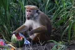 Affe isst eine Wassermelone in einem Dump Lizenzfreie Stockbilder