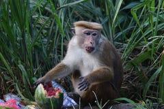 Affe isst eine Wassermelone in einem Dump Stockfotografie
