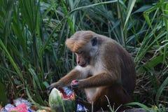 Affe isst eine Wassermelone in einem Dump Stockfotos