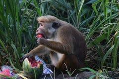 Affe isst eine Wassermelone in einem Dump Lizenzfreies Stockbild