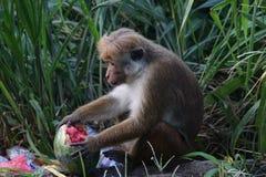 Affe isst eine Wassermelone in einem Dump Lizenzfreie Stockfotografie