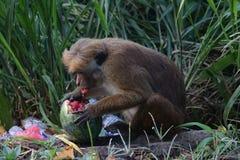 Affe isst eine Wassermelone in einem Dump Lizenzfreie Stockfotos