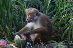 Affe isst eine Wassermelone in einem Dump Lizenzfreies Stockfoto