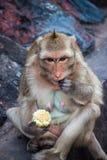 Affe isst einen Mais Lizenzfreie Stockfotos