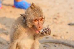 Affe isst Eis Stockbild