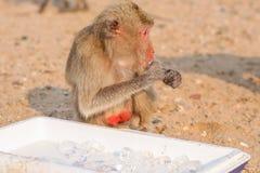 Affe isst Eis Lizenzfreie Stockfotografie