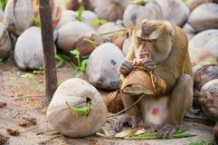 Affe isst Kokosnuss an der Kokosnussplantage bei Koh Samui, Thailand Lizenzfreies Stockbild