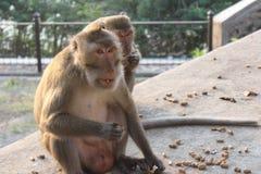 Affe isst Nüsse Stockbild
