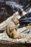 Affe isst Wassermelonenrinde Lizenzfreie Stockbilder