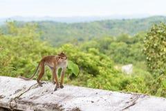 Affe ist auf dem alten buddhistischen Tempel in Sri Lanka Lizenzfreies Stockfoto