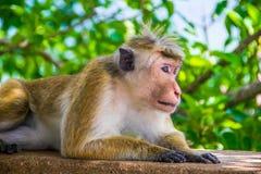 Affe ist das Lügen, das in Sigiriya, Sri Lanka im Freien ist Stockbild