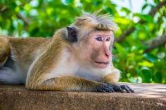 Affe ist das Lügen, das in Sigiriya, Sri Lanka im Freien ist, horizontal Stockfotografie