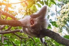 Affe ist Gegähne im Ubud-Affe-Wald, Bali-Insel Lizenzfreie Stockfotografie